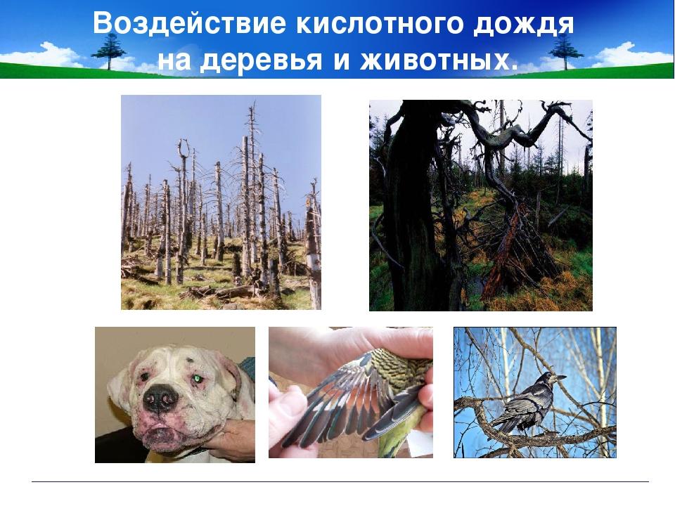 Воздействие кислотного дождя на деревья и животных.