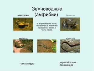 Земноводные (амфибии) хвостатые  бесхвостые  У