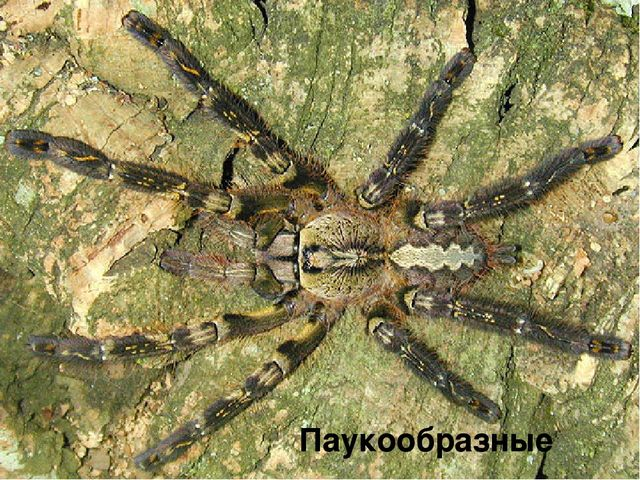 Паукообразные