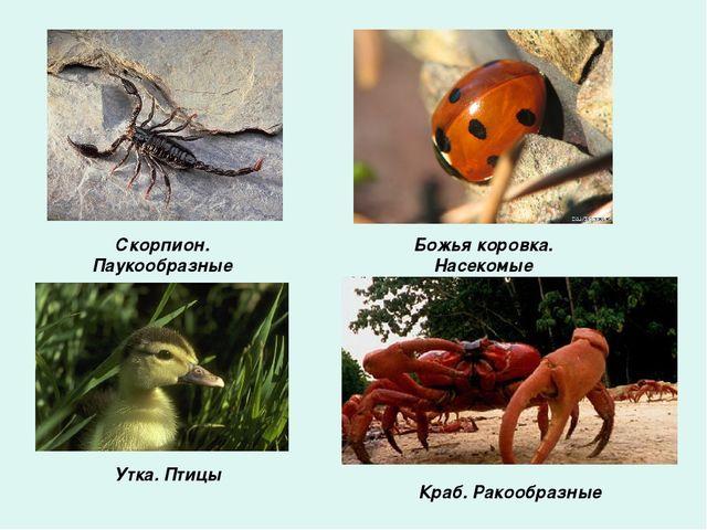 Скорпион. Паукообразные Божья коровка. Насекомые Утка. Птицы Краб. Ракообразные