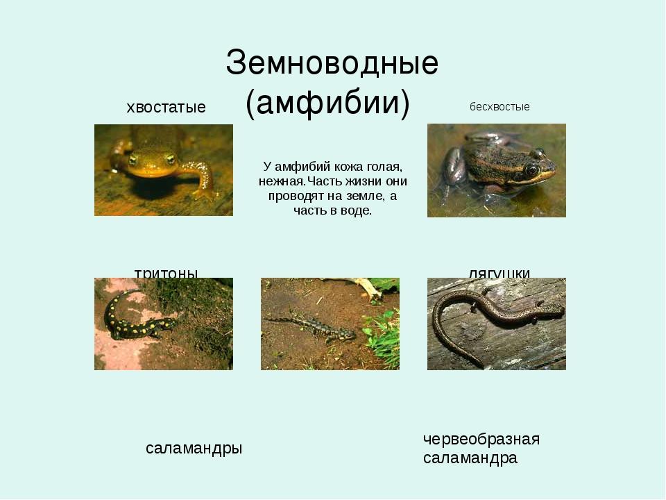 Земноводные (амфибии) хвостатые  бесхвостые  У...
