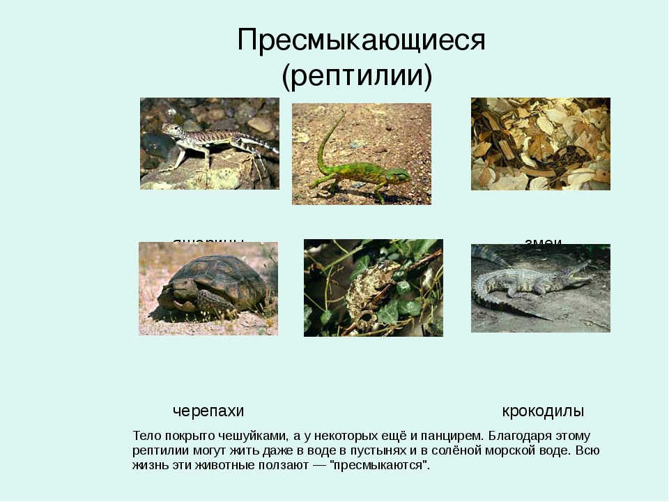 Пресмыкающиеся (рептилии)  ...