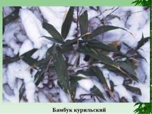 Бамбук курильский