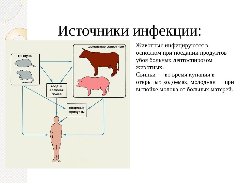 Картинки лептоспироза животных