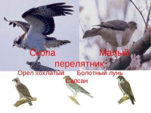 Скопа Малый перелятник Орел хохлатый Болотный лунь Сапсан