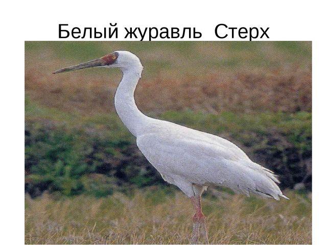 Белый журавль Стерх