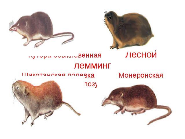 Кутора обыкновенная Лесной лемминг Шикотанская полевка Монеронская белозубка