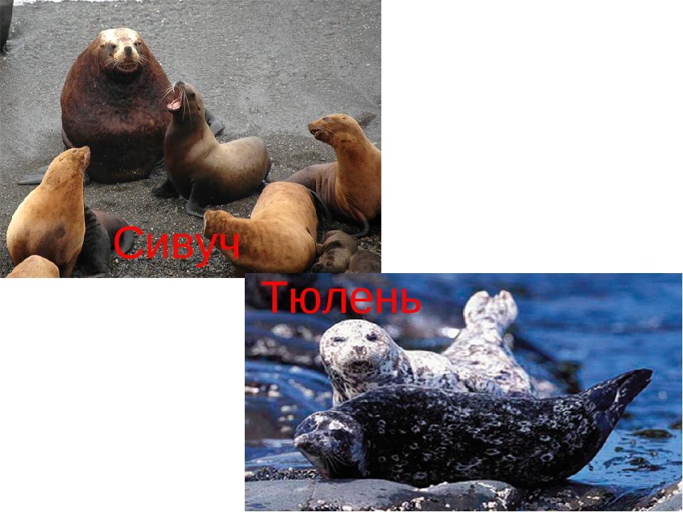 Сивуч Тюлень
