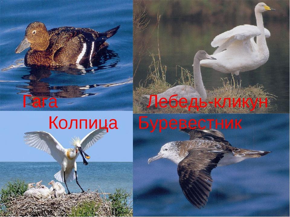 Гага Лебедь-кликун Колпица Буревестник
