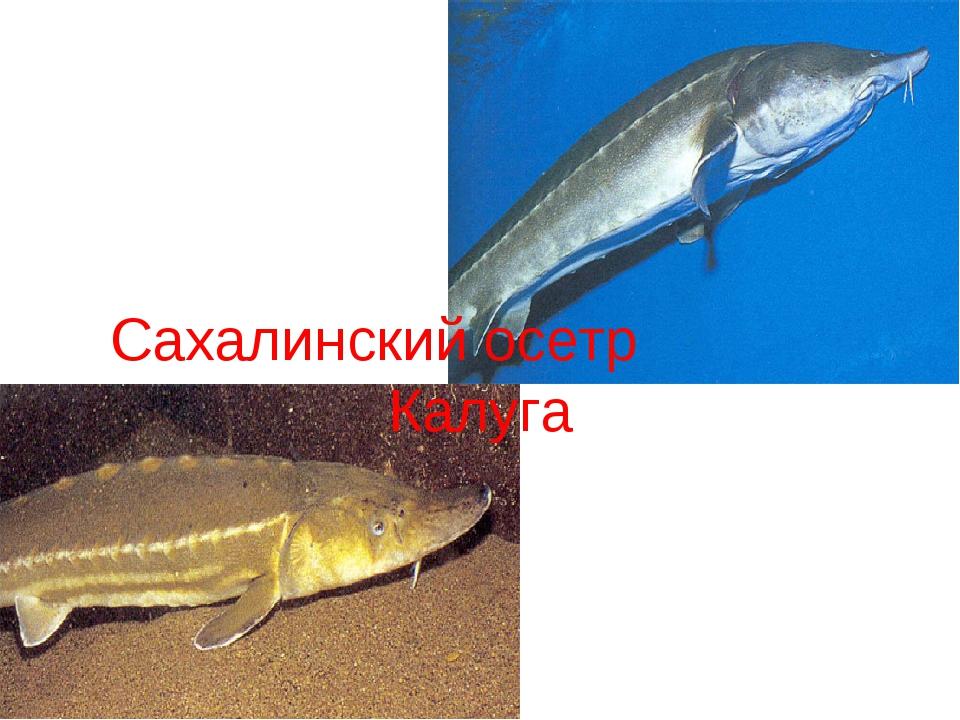 Сахалинский осетр Калуга