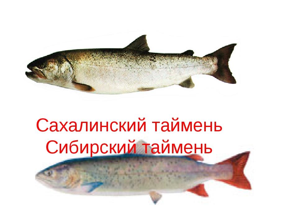 Сахалинский таймень Сибирский таймень