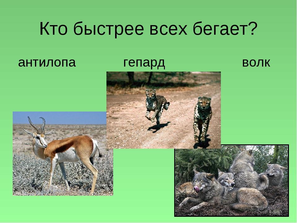 Кто быстрее всех бегает? антилопа гепард волк