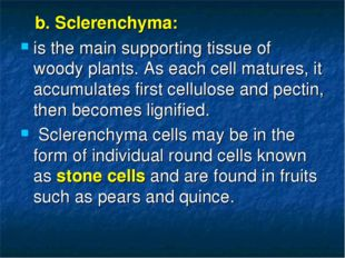 b. Sclerenchyma: is the main supporting tissue of woody plants. As each cell