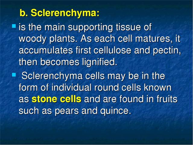 b. Sclerenchyma: is the main supporting tissue of woody plants. As each cell...