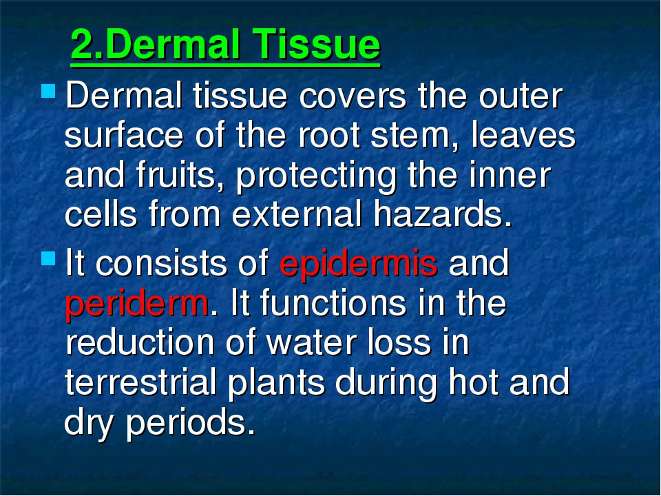 2.Dermal Tissue Dermal tissue covers the outer surface of the root stem, lea...