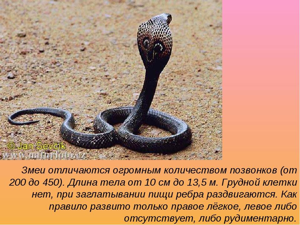Змеи отличаются огромным количеством позвонков (от 200 до 450). Длина тела от...