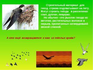 Строительный материал для гнезд стрижи подхватывают на лету. Могут строить г