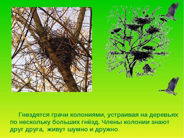 Гнездятся грачи колониями, устраивая на деревьях по нескольку больших гнёзд....