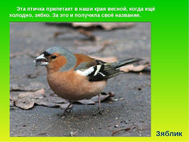 Зяблик Эта птичка прилетает в наши края весной, когда ещё холодно, зябко. За...