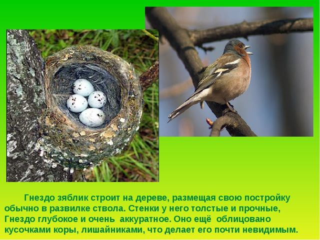 Гнездо зяблик строит на дереве, размещая свою постройку обычно в развилке ст...