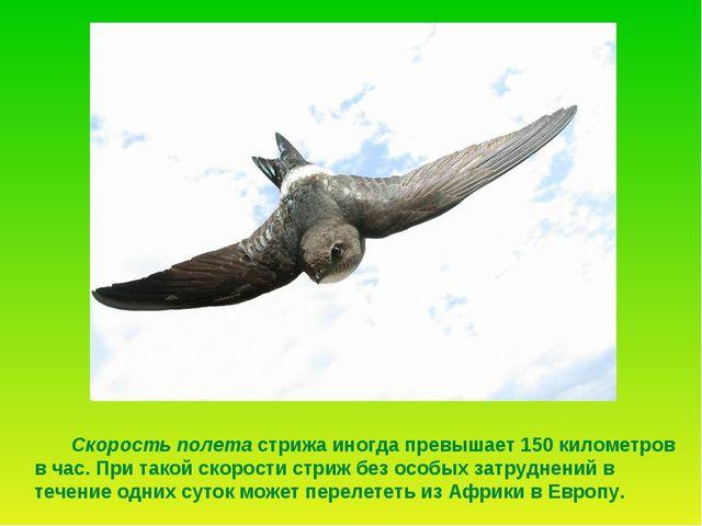 Скорость полета стрижа иногда превышает 150 километров в час. При такой скор...