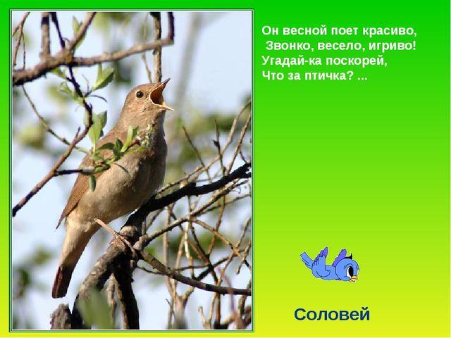 Он весной поет красиво, Звонко, весело, игриво! Угадай-ка поскорей, Что за пт...