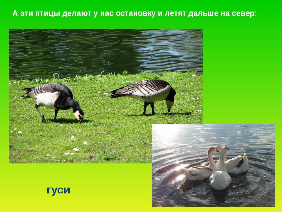 гуси А эти птицы делают у нас остановку и летят дальше на север: