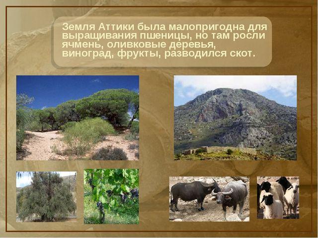 Земля Аттики была малопригодна для выращивания пшеницы, но там росли ячмень,...