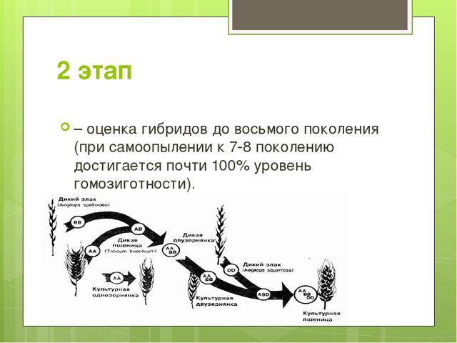 2 этап – оценка гибридов до восьмого поколения (при самоопылении к 7-8 поколе...
