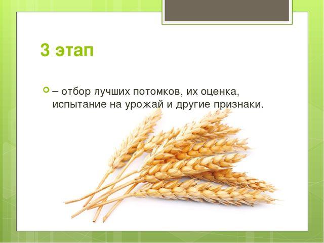 3 этап – отбор лучших потомков, их оценка, испытание на урожай и другие призн...