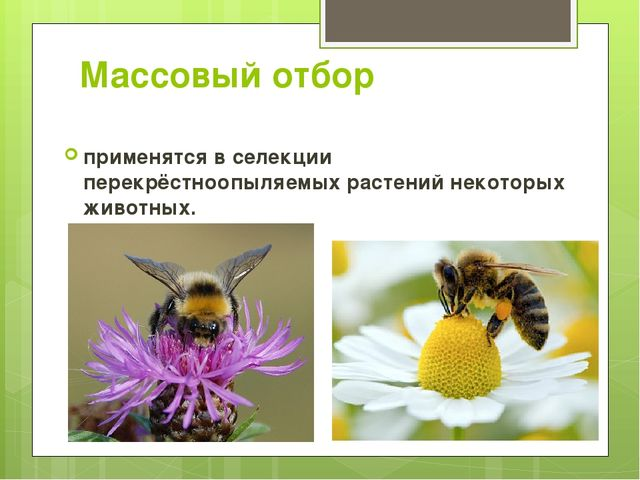 Массовый отбор применятся в селекции перекрёстноопыляемых растений некоторых...