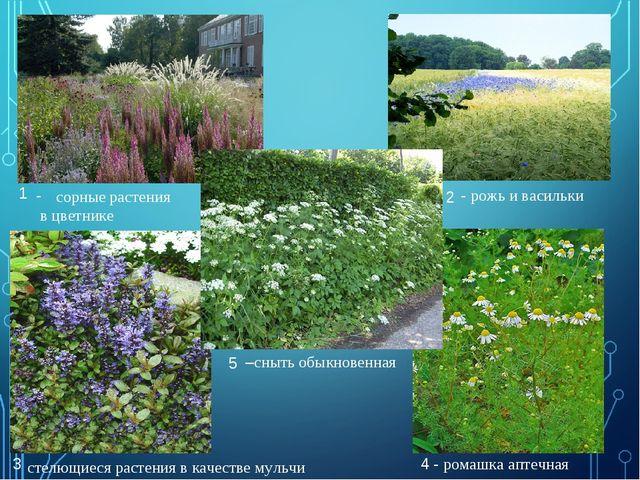 1 2 4 3 5 сорные растения в цветнике - рожь и васильки стелющиеся растения в...