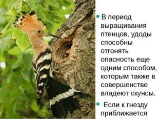 В период выращивания птенцов, удоды способны отгонять опасность еще одним сп