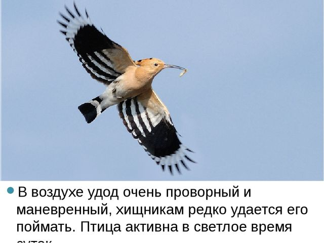 В воздухе удод очень проворный и маневренный, хищникам редко удается его пой...