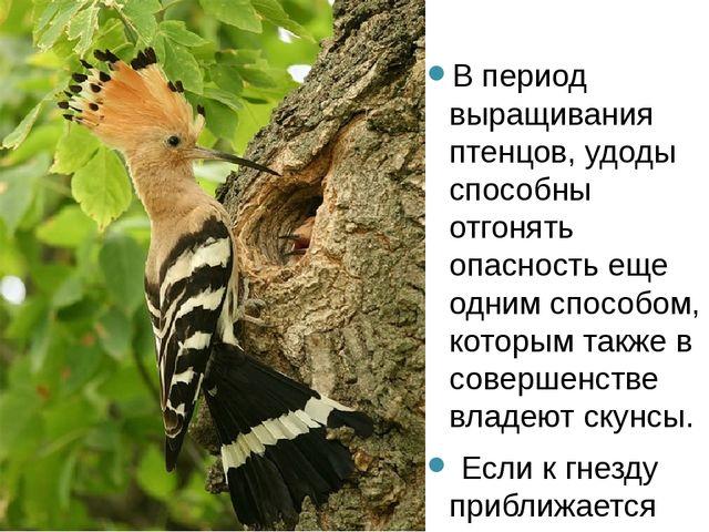В период выращивания птенцов, удоды способны отгонять опасность еще одним сп...