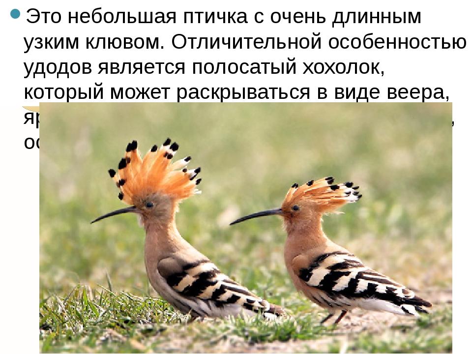 Это небольшая птичка с очень длинным узким клювом. Отличительной особенностью...