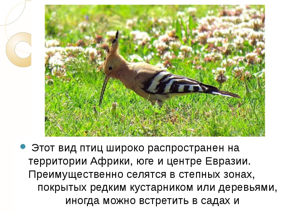 Этот вид птиц широко распространен на территории Африки, юге и центре Еврази...