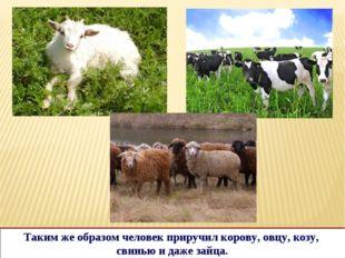 Таким же образом человек приручил корову, овцу, козу, свинью и даже зайца.
