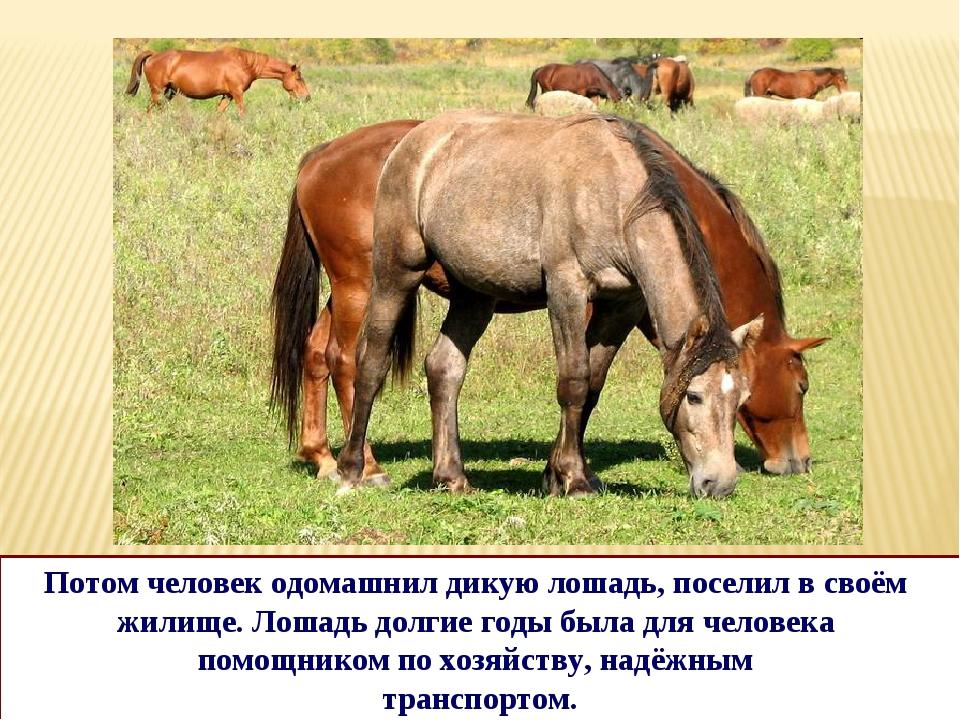 Потом человек одомашнил дикую лошадь, поселил в своём жилище. Лошадь долгие г...