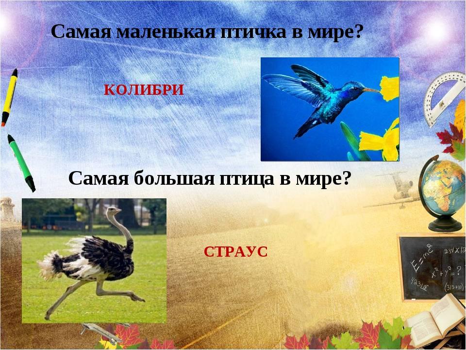 Самая маленькая птичка в мире? КОЛИБРИ Самая большая птица в мире? СТРАУС