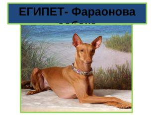 ЕГИПЕТ- Фараонова собака