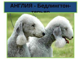 АНГЛИЯ - Бедлингтон-терьер