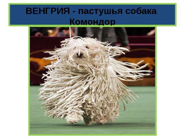 ВЕНГРИЯ - пастушья собака Комондор