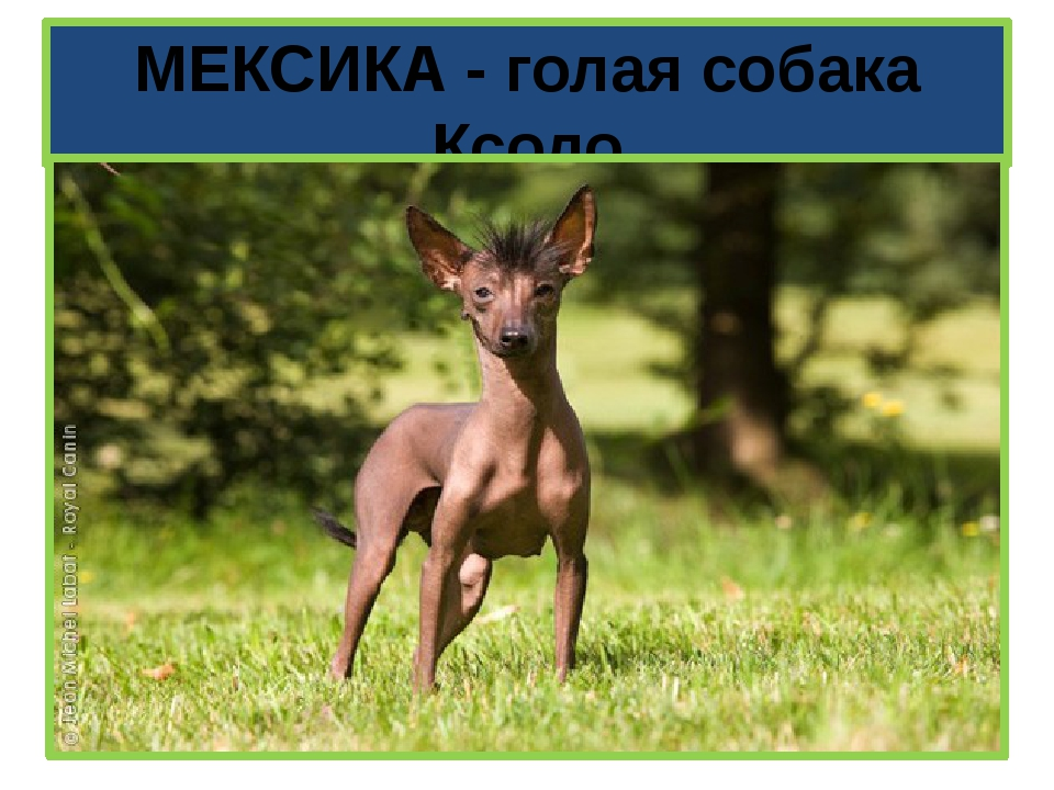 МЕКСИКА - голая собака Ксоло