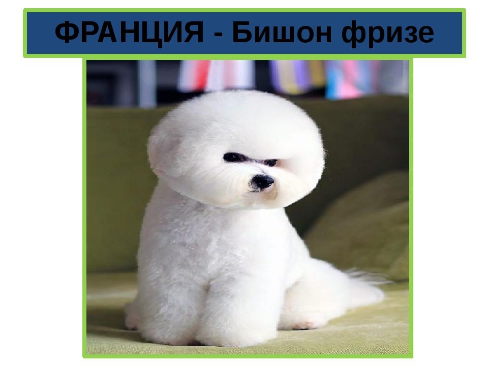 ФРАНЦИЯ - Бишон фризе