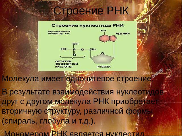 Строение РНК Молекула имеет однонитевое строение. В результате взаимодействия...