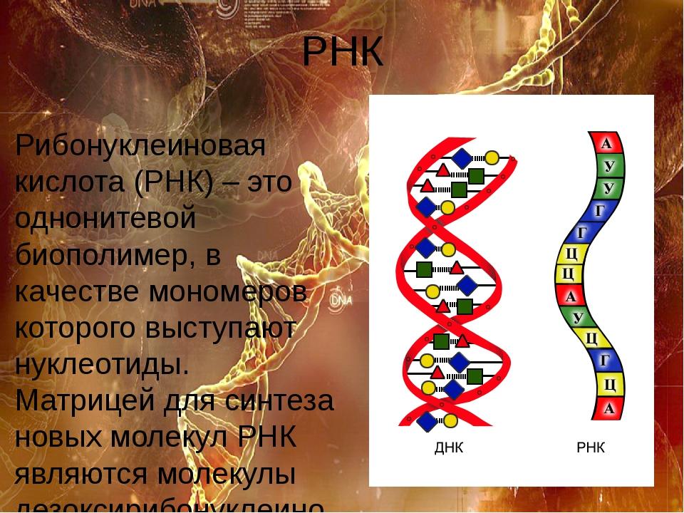 РНК Рибонуклеиновая кислота (РНК) – это однонитевой биополимер, в качестве мо...