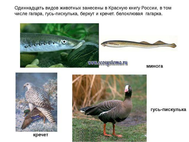 Одиннадцать видов животных занесены в Красную книгу России, в том числе гагар...