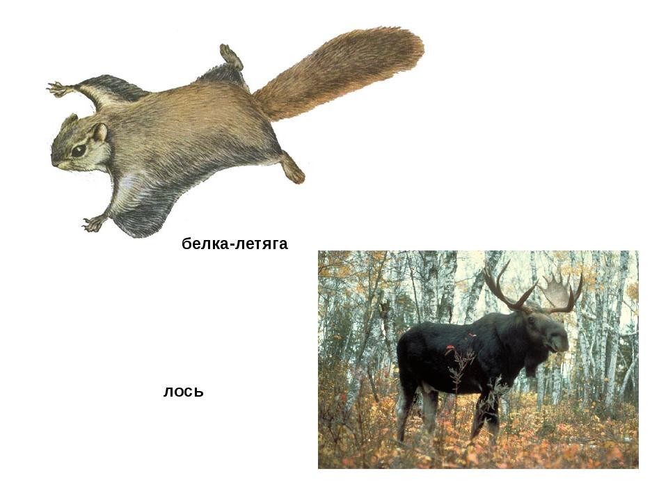 белка-летяга лось