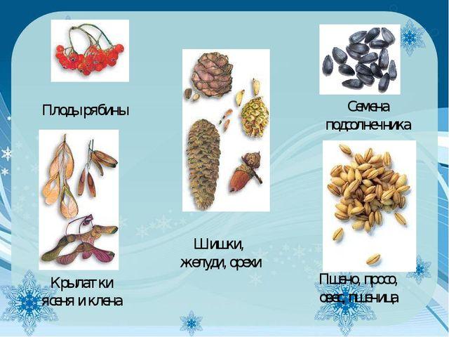 Плоды рябины Семена подсолнечника Крылатки ясеня и клена Шишки, желуди, орехи...